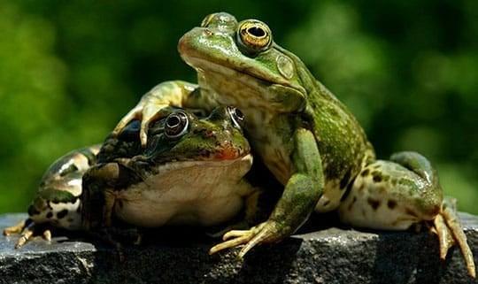 Fond Frogs