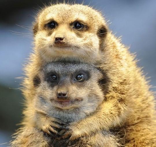 Matrimonial Meerkats
