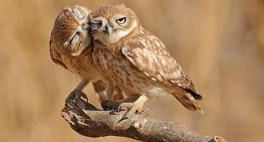 Obliging Owls
