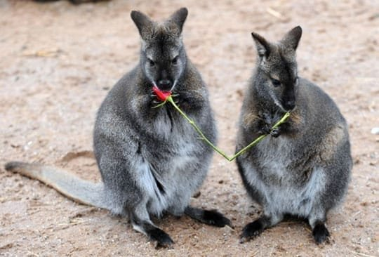Wooing Wallabies