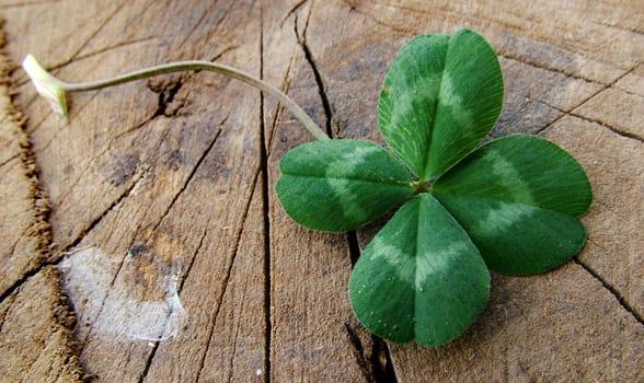 Photo of a four-leaf clover