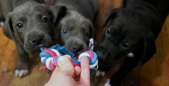 Photo of puppies playing tug-of-war