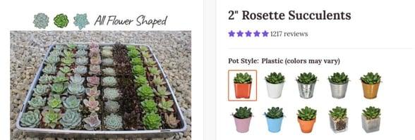 Photo of succulent rosettes