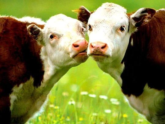 Cozy Cows