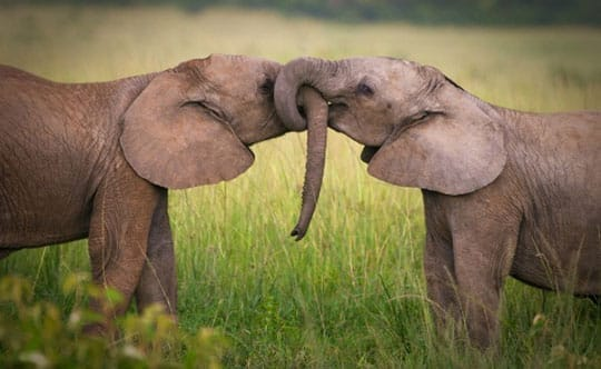 Enamored Elephants