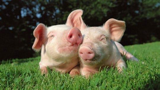 Passionate Pigs