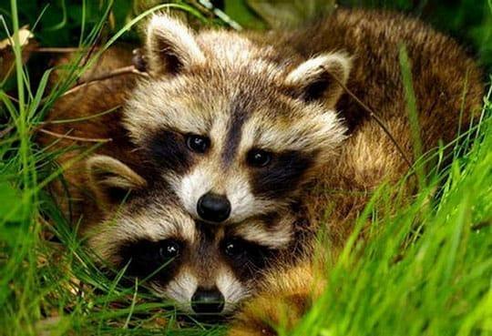 Romantic Raccoons