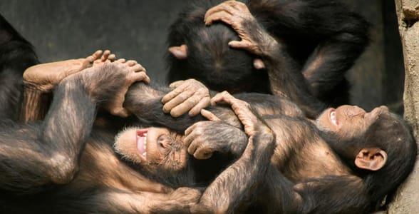 Photo of chimps at the LA Zoo