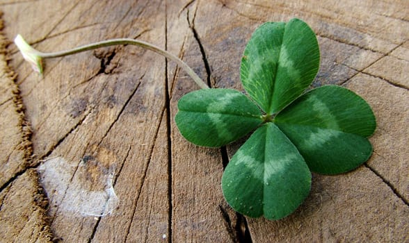 Photo of a four-leaf clover