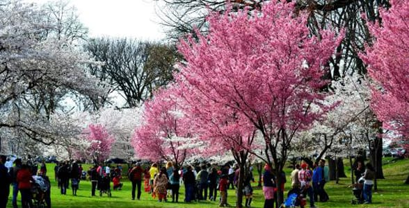 Photo of cherry blossom trees in Branch Brook Park