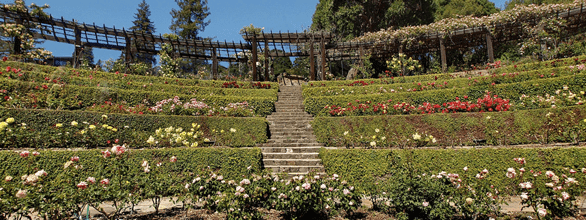 Photo of the Berkeley Rose Garden