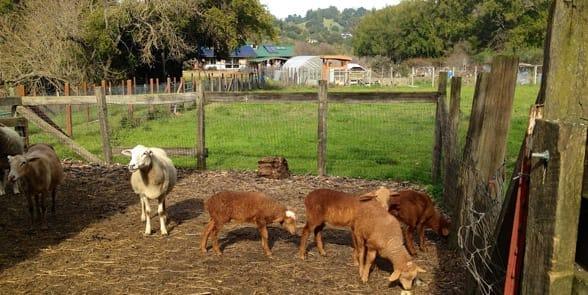Photo of sheep at Hidden Villa