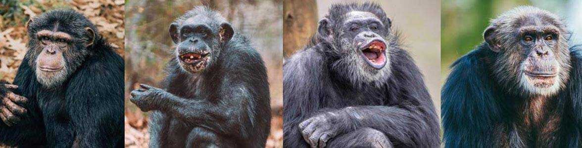 Photos of Chimp Haven chimpanzees