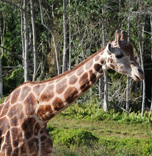 Photo of Cupid the giraffe