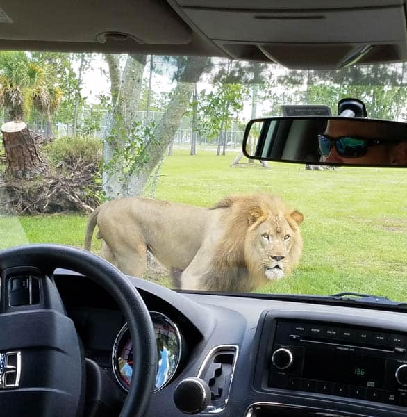Photo of a lion seen through a car window